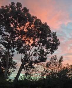 Eucalyptus Tree at Dusk