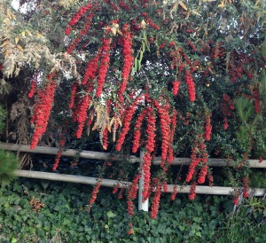 Red berry vine spilling over wood fence